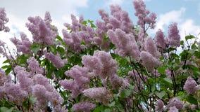 豪华的美丽的灌木开花的紫色淡紫色花在春天 影视素材