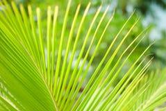 豪华的绿色棕榈分支 免版税库存图片