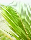 豪华的绿色棕榈分支 免版税图库摄影