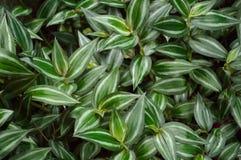 豪华的绿色漫步的犹太人植物 免版税库存图片