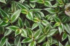 豪华的绿色漫步的犹太人植物 免版税图库摄影
