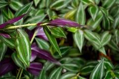 豪华的绿色漫步的犹太人植物 库存照片