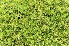 豪华的绿色留下从庭院的背景 免版税库存图片