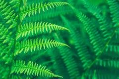 豪华的绿色蕨叶子在森林里 免版税库存照片