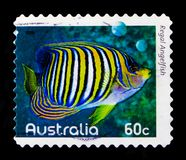 豪华神仙鱼Pygoplites diacanthus,礁石serie的鱼,大约2010年 免版税库存照片