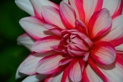 豪华红白的庭院大丽花花 库存图片