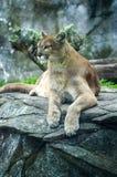 豪华美洲狮 免版税库存照片