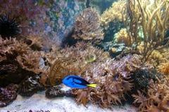 豪华蓝色特性、调色板矛状棘鱼或者河马特性, Paracanthurus hepatus种类一条印度-太平洋矛状棘鱼  库存照片