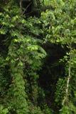 豪华,热带植物生活围拢雨林供徒步旅行的小道在Trimbina生物储备 免版税库存照片