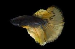 豪华Betta鱼、暹罗战斗的鱼或者蓝色Betta的splendens 免版税库存图片