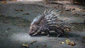 豪猪啮齿目动物和锋利的脊椎野生生物动物 免版税库存图片