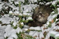 豪猪在原野 掩藏在草的动物在witer森林里 库存照片