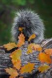 豪猪美洲豪猪属在嚼秋天的嘴的dorsatum叶子 库存图片