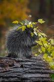 豪猪美洲豪猪属dorsatum分支顶上的用力嚼的秋天 库存照片