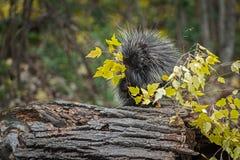 豪猪美洲豪猪属dorsatum在分支秋天的叶子用力嚼 库存照片