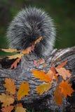 豪猪美洲豪猪属dorsatum坐用力嚼叶子秋天的日志 库存图片