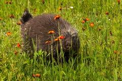 豪猪(美洲豪猪属dorsatum)凝视在花之间 库存图片