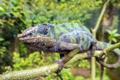 豹变色蜥蜴拉特 Furcifer pardalis马达加斯加 库存图片