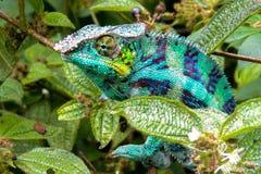 豹变色蜥蜴拉特 Furcifer pardalis马达加斯加 免版税图库摄影