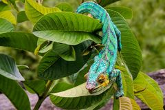 豹变色蜥蜴拉特 Furcifer pardalis马达加斯加 图库摄影