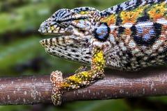 豹变色蜥蜴,马达加斯加的地方性爬行动物 免版税库存图片