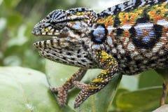豹变色蜥蜴,马达加斯加的地方性爬行动物 免版税库存照片