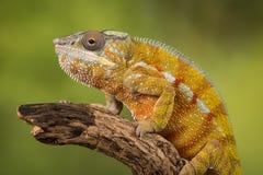 豹变色蜥蜴 免版税库存照片