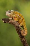 豹变色蜥蜴 库存图片
