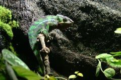 豹变色蜥蜴(Furcifer pardalis) 免版税库存照片