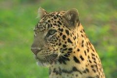豹子。 图库摄影