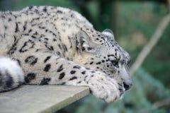 豹子休息的雪 库存照片