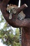 豹子休眠结构树 库存图片