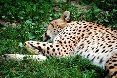 豹子休眠 免版税图库摄影