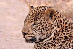 豹子位于的男性树荫 库存照片