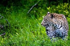 豹子偷偷靠近的牺牲者在南非 免版税库存图片