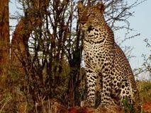 豹子凝视 免版税图库摄影