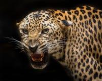 豹子咆哮 库存图片