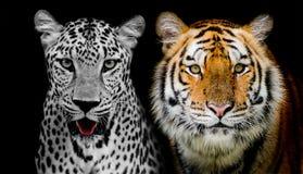 豹子和老虎的不显现表情的脸 (和您可能发现更多美洲黑杜鹃 图库摄影