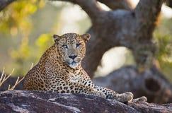 豹子在一块大石头说谎在树下 斯里南卡 图库摄影