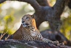 豹子在一块大石头说谎在树下 斯里南卡 库存图片