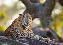 豹子在一块大石头说谎在树下 斯里南卡 免版税库存照片