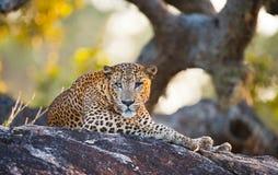 豹子在一块大石头说谎在树下 斯里南卡 免版税库存图片