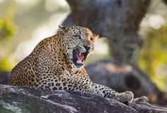 豹子在一块大石头说谎在树和打呵欠下 斯里南卡 免版税图库摄影