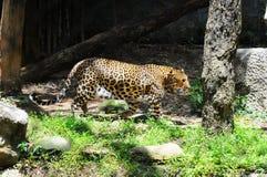 豹子在动物园里走 库存图片