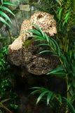 豹子在密林 免版税库存照片