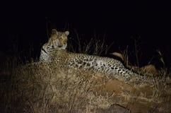 豹子在晚上 库存图片