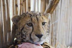豹子在桌山国家公园在开普敦 免版税库存图片