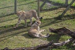 豹子在桌山国家公园在开普敦 图库摄影