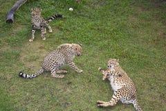 豹子在桌山国家公园在开普敦 库存图片