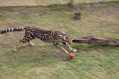 豹子在桌山国家公园在开普敦 免版税库存照片